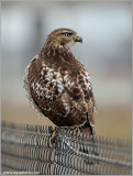 Red-tailed Hawk 142