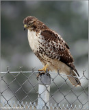 Red-tailed Hawk 143
