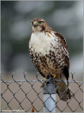 Red-tailed Hawk 144