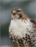 Red-tailed Hawk (Crop) 146