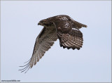 Red-tailed Hawk 149