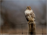 Red-tailed Hawk 150