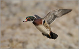 Wood Duck in Flight 11