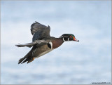 Wood Duck in Flight 13