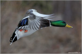 Male Mallard in Flight 33