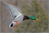 Male Mallard in Flight 34