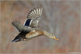 Female Mallard in Flight 36