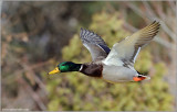 Male Mallard in Flight 37