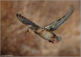 Female Mallard in Flight 38