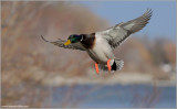 Male Mallard in Flight 39