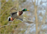 Male Mallard in Flight 40