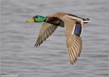 Male Mallard in Flight 41