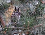 Long-eared Owl 10