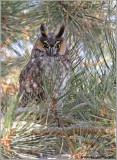 Long-eared Owl 11