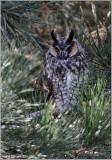 Long-eared Owl 12