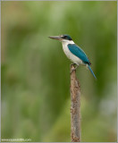 Collared Kingfisher  (2nd edit) 9