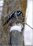 Northern Hawk Owl 45