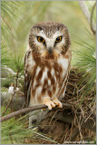 Northern Saw-whet Owl 4