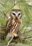 Northern Saw-whet Owl 2