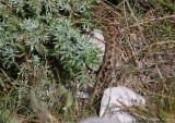 Vipère d'Orsini, Vipera ursinii ursinii