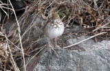 Hermit Thrush - looking pudgy, cute and mean (all at once) from the front :)