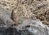 Hermit Thrush showing off that gorgeous red tail