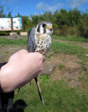 American Kestrel (adult male) in the hand