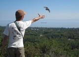 I'm releasing a Sharp-shinned Hawk