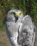 Adult male Northern Harrier (Gray Ghost)