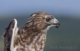 Adult Broad-winged Hawk