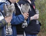Three accipiters - Imm. Northern Goshawk (left), adult Cooper's Hawk (center), Imm Sharp-shinned Hawk (right)