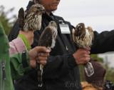 Immature Broad-winged Hawks (left and right), Immature Sharp-shinned Hawk (center)