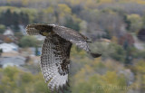 Juvenile rufous morph Red-tailed Hawk release