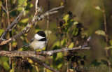 Banded Black-capped Chickadee at Sunrise