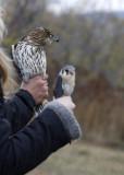 Cooper's Hawk and American Kestrel
