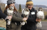 Red-tailed Hawks... notice the variation, both physically, and with the personality of each bird