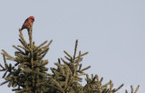 Male White-winged Crossbill, keeping watch over the flock
