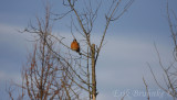 American Robin, taking a little breather, from a long night of migrating northward!