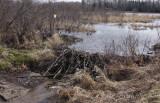 Beaver damn, along the edge of Stone Lake