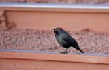 Brewer's Blackbird - look at that gorgeous sheen!