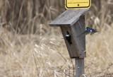 Tree Swallows at a nest box