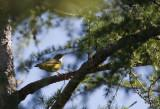 Connecticut Warbler!