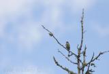 Butterbutt! (Yellow-rumped Warbler