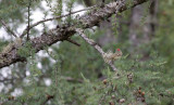 Ruby-crowned Kinglet, a little blurred, but showing off those field marks!