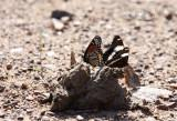 Viceroy and White Admiral