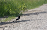 Black-billed Magpie, keeping cool in the shade