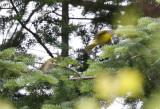 Nashville Warbler fledgling begging for food!