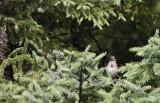 Fledgling Song Sparrow
