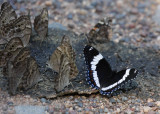 Northern Pearly Eyes (group on left), Red Admiral (back right), White Admiral (front right)