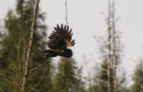 Great Gray Owl, on its way into the woods